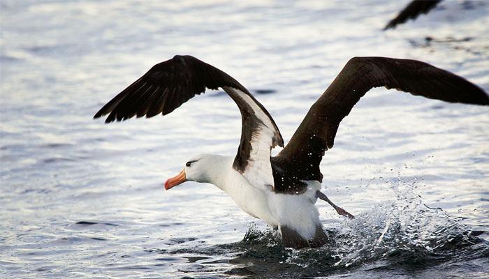 02 Albatros dan hewan laut lain sering salah memakan plastik (Foto Wikimedia org)