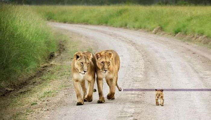 1 Tingkah Hewan Singa