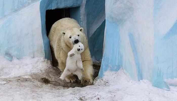 10 Tingkah Hewan Beruang Kutub