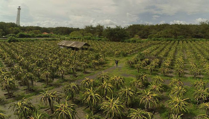14 Jogja_Kebun buah naga, Gadingsari Sanden Bantul Yogyakarta