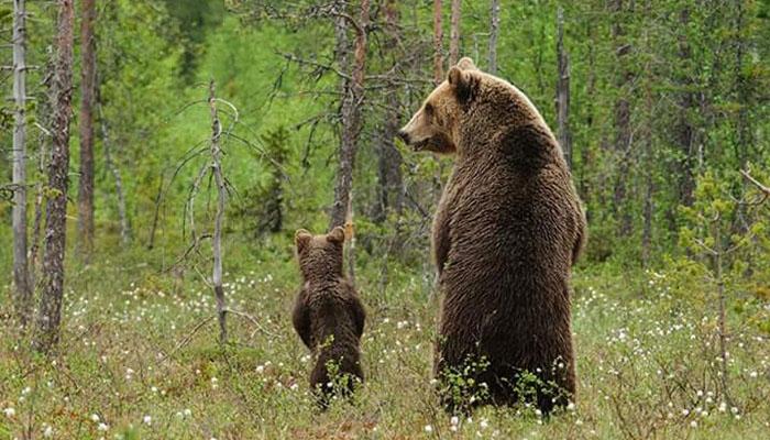 2 Tingkah Hewan Beruang