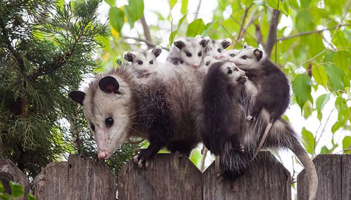 3 Tingkah Hewan Possum